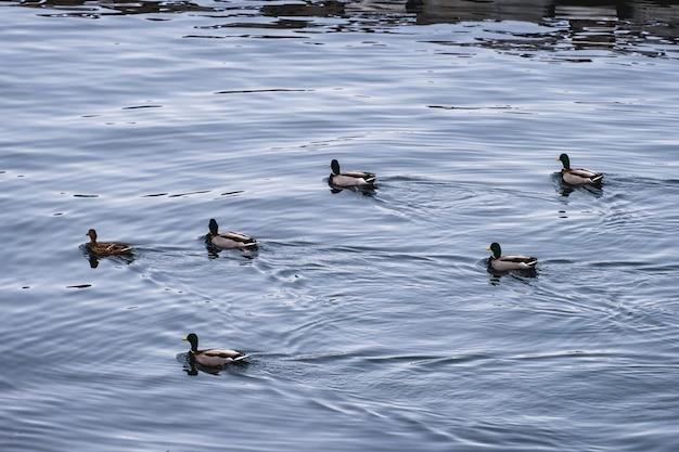 鴨の群れが秩序正しく海岸線に浮かぶ