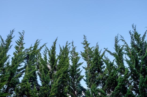 空のピーク松の木