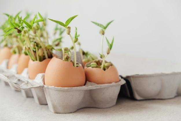 エッグシェルの実生植物、エコガーデニング、モンテッソーリ、教育、再利用コンセプト