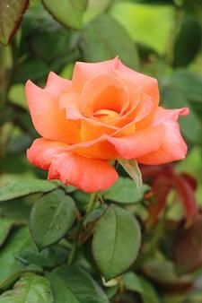 美しいバラの花が庭に咲いています