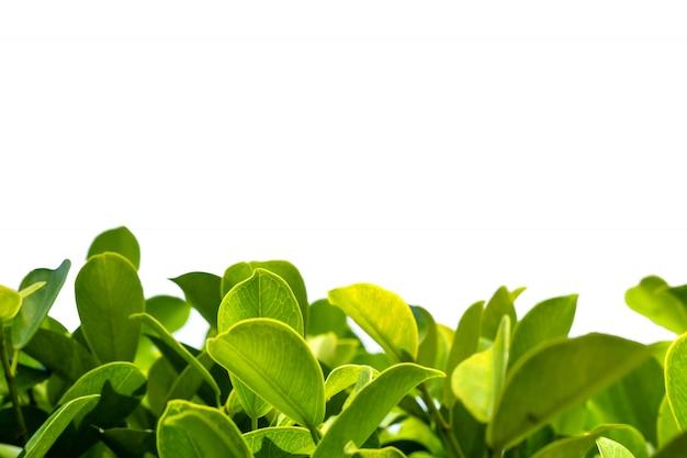 孤立した背景を持つ自然の葉