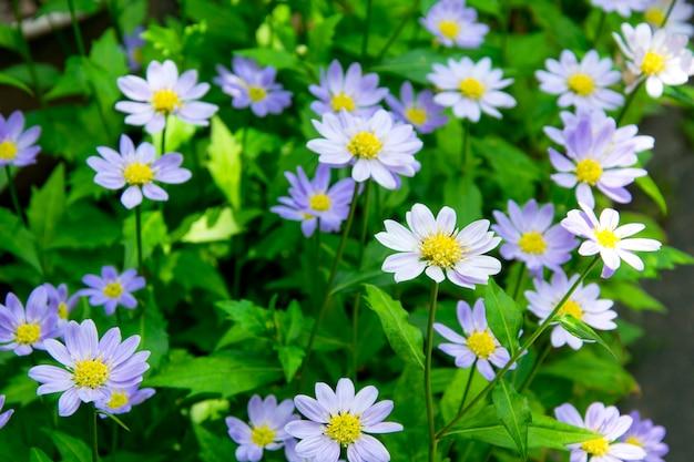 緑の草の中に紫の大きなデイジー。デイジーのフィールド。