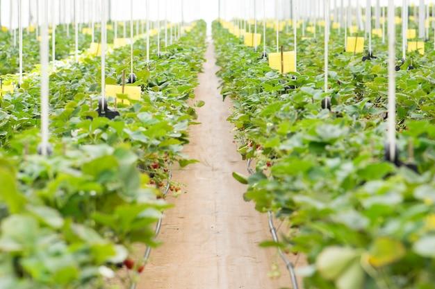 温室で栽培されている新鮮なイチゴ