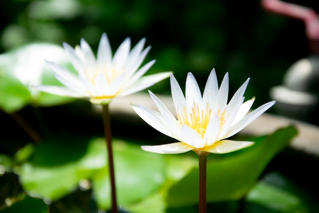 白い蓮の花の背景