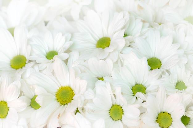 Красивый белый фон цветы хризантемы