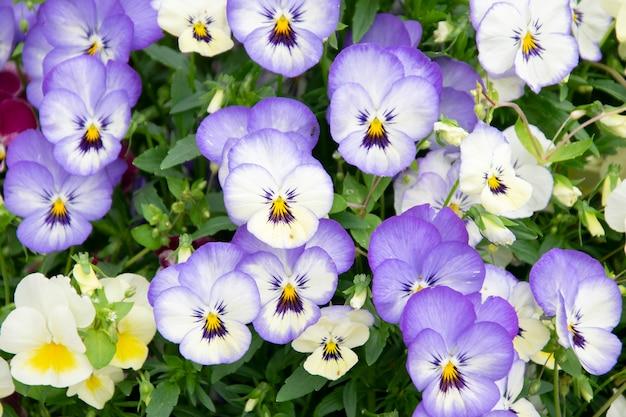 Цветы анютины глазки фиолетовые весенние цвета