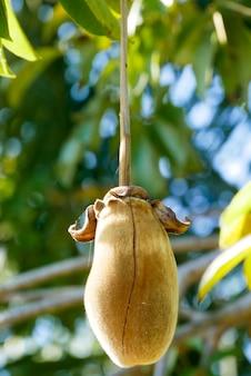 アフリカのバオバブの実や猿のパン