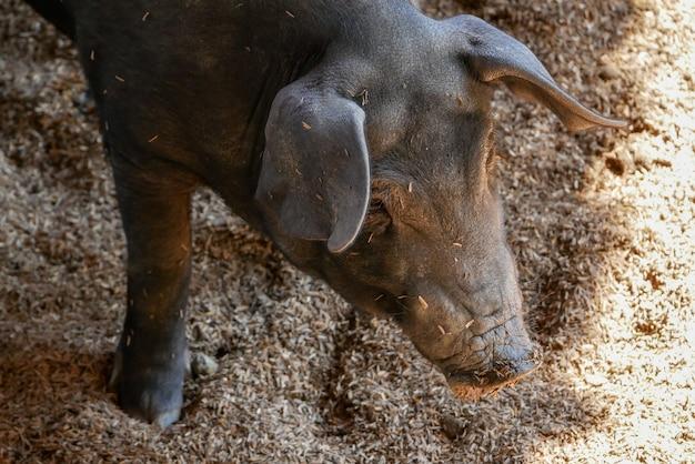 農場で黒い小さな豚