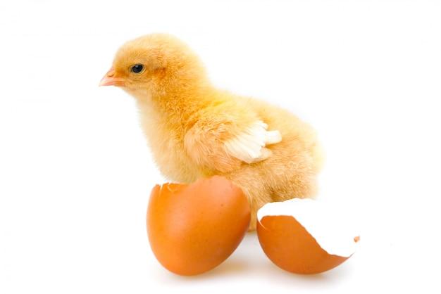 Цыпленок или маленький цыпленок изолированы. концепция фермы и животноводства
