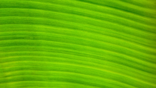 Свежий зеленый лист текстуры фона банана
