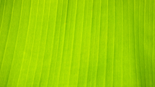バナナの新鮮な緑の葉のテクスチャ背景