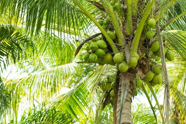 ココナツの木は多くの果物を産みます。