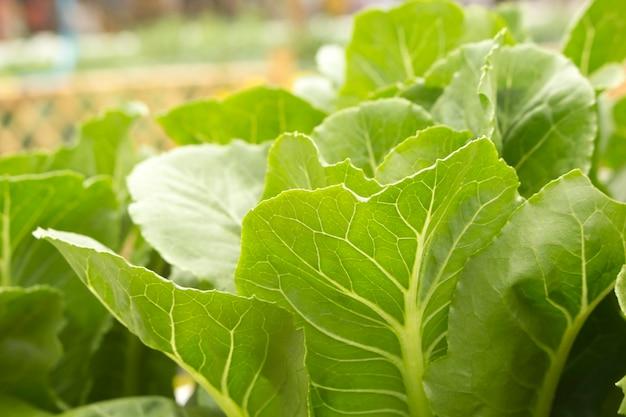 庭の緑の葉野菜のクローズアップ。