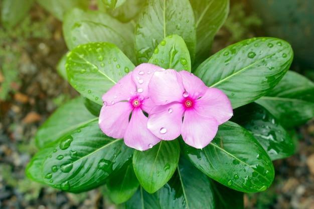 露滴と庭のピンクの花