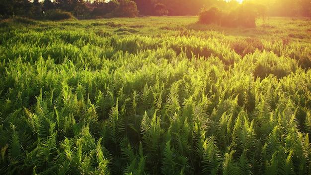 太陽が輝くシダの森。