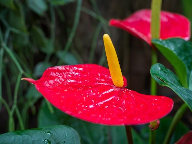 庭に美しい赤いアンスリウムまたはフラミンゴの花が咲きます