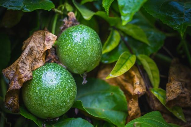 木に熟した赤いパッションフルーツ。熟したパッションフルーツの色が赤くなり、食べる準備が整いました。
