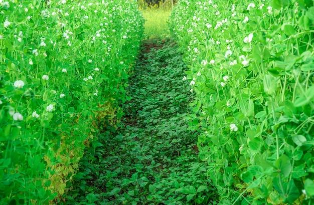 豆の花やエンドウ豆の植物は、早い春に歩いて有機農園の朝の時間
