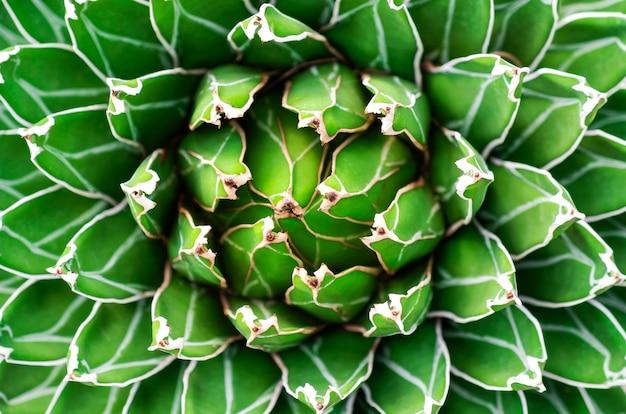 美しいアガベサボテン抽象的な自然な背景とテクスチャを閉じます。