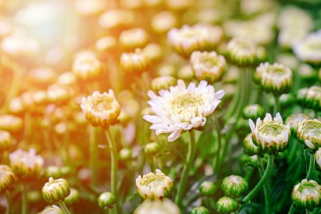 Закройте вверх по красивым белым отпочковываясь и зацветите цветка хризантемы с солнечным светом в саде.