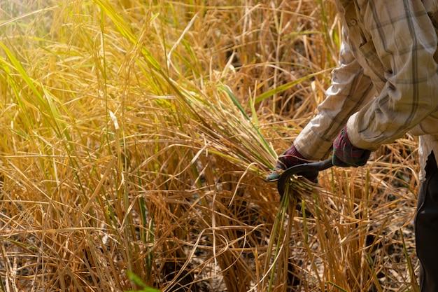 農業シーズンにジャスミン水稲に農家の手使用フック鎌収穫を閉じます。
