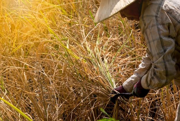 農家は、農業シーズンに稲をジャスミンするために鎌鎌収穫を使用します。