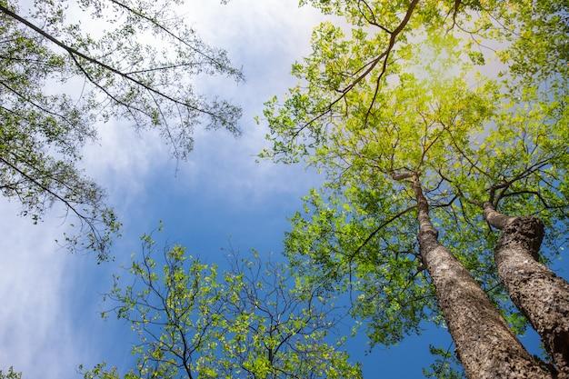 青い空と美しい新鮮な緑の木の仰角。画像