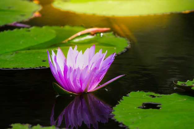 スイレンや蓮の花の池の水面に黄色の花粉。