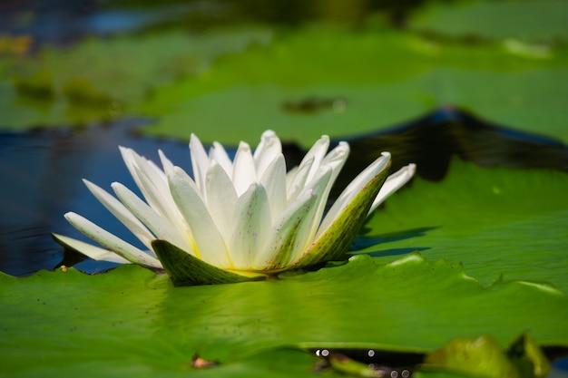 睡蓮や蓮の池の水の表面に反射との美しい白。