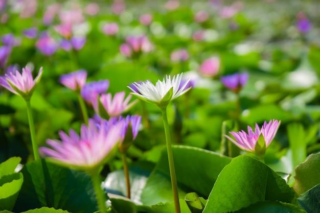 淡いピンクと白の睡蓮や蓮の花の池の水面に黄色い花粉。
