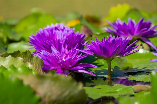 紫の睡蓮や池の水面に黄色の花粉と蓮の美しい。