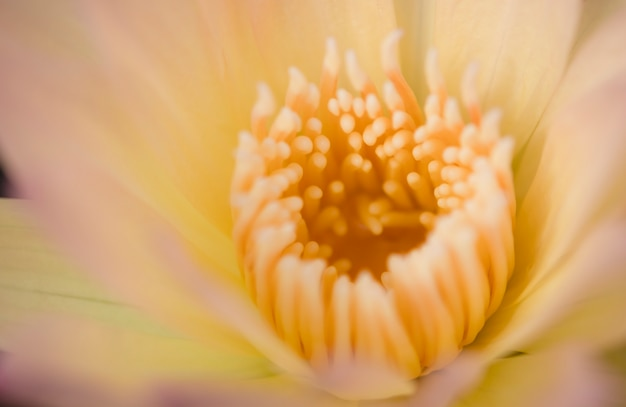 黄色いピンクの蓮の黄色い花粉や睡蓮を閉じます。