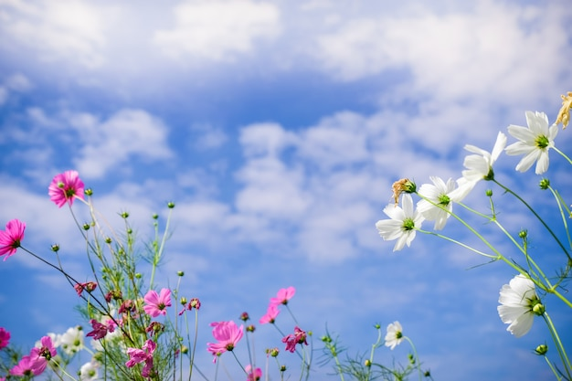 自然のコスモス畑にピンクのコスモスの花。鮮度と背景のコンセプトです。