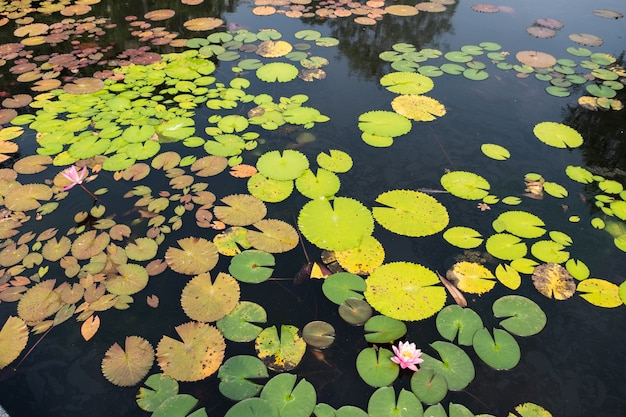 Вид сверху пейзаж лотосового пруда. красочные лотоса