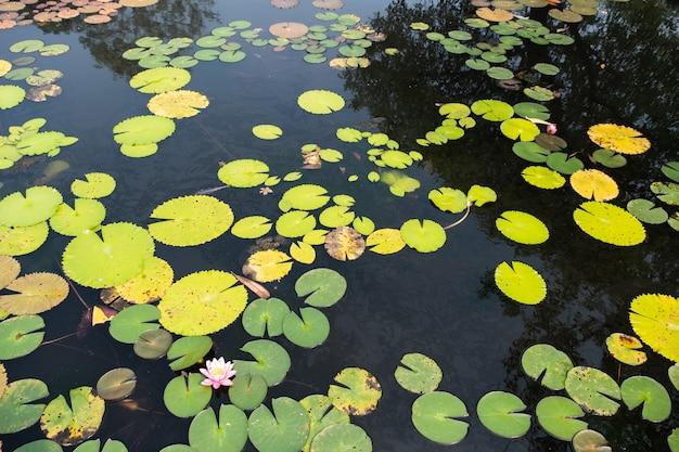 Вид сверху на пруд с лотосами. красочный пруд с лотосами - изображение