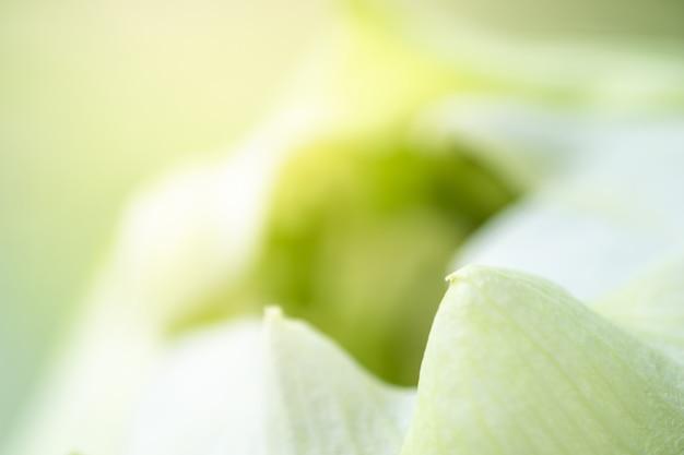 背景とテクスチャを使用して蓮の白い花びらのクローズアップ。
