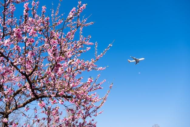美しいピンクの桜の花の木と青い空と飛行機。