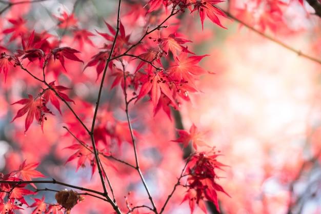 Кленовый лист крупного плана естественный красный с солнечным светом в сезоне падения.