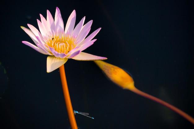 ロータス、花、黒、背景