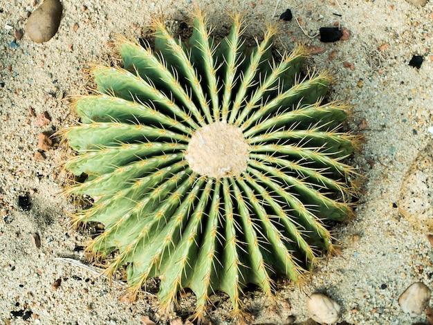 サボテンの棘と芽が付いている円形のサボテンの眺めは砂漠の野原で成長する