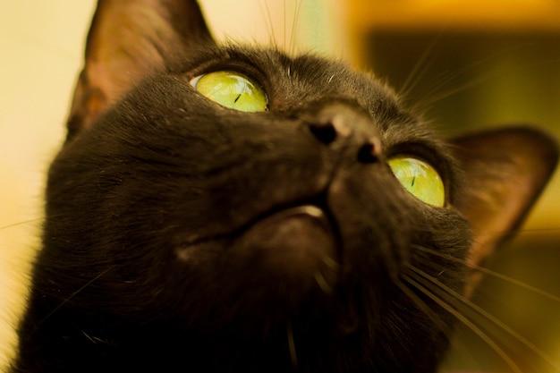 黄色い目の黒い猫