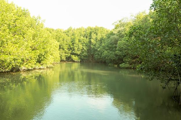 Предпосылка природы зеленого цвета реки леса мангровы в таиланде