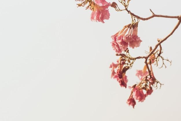 白で隔離される木の枝に美しいピンクの春の花
