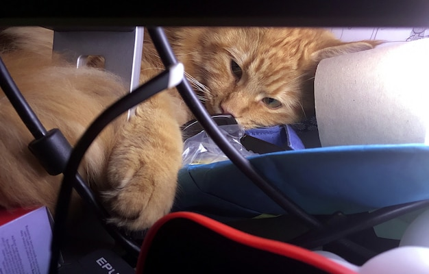 家の中と周辺のレッドメインクーン猫