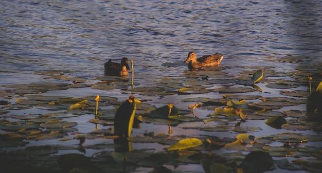 Утки в озере с кувшинками