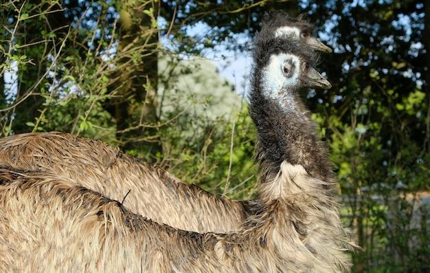 Два страуса в лесу в англии