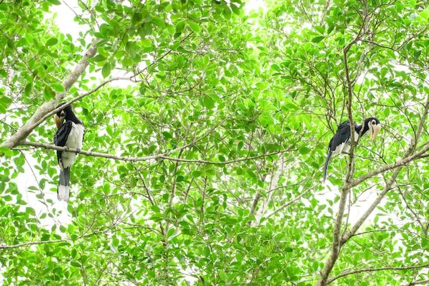 完全な森の中でいつか私たちは生きている黒いサイチョウを見つけるでしょう