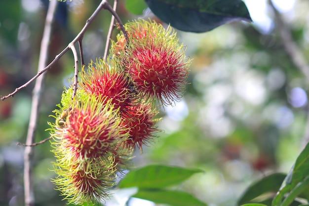 ラムブタン樹上の赤い枝肉