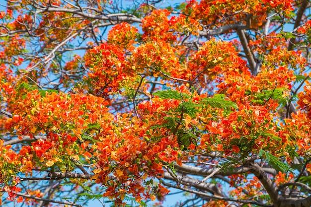 ロイヤルポアンキアナの木