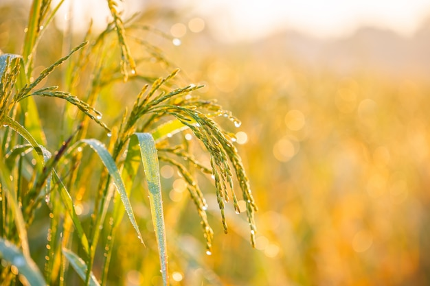 水田の米粒